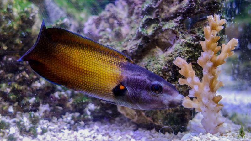 With a Sloppy 'Kiss,' Intrepid Fish Enjoys Perilous Feast