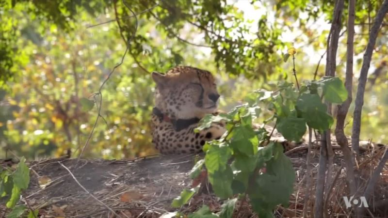 Cheetahs Back from the Brink in Malawi