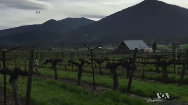 Oregon Wineries Branch Out to Legal Marijuana