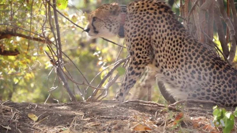 Malawi Reintroduces Cheetahs After 20-Year Absence
