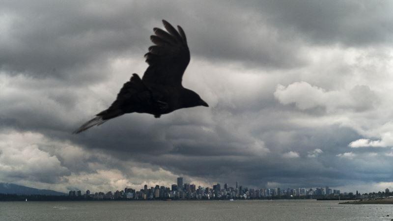 Ravens Show Unique Ability to Plan Ahead