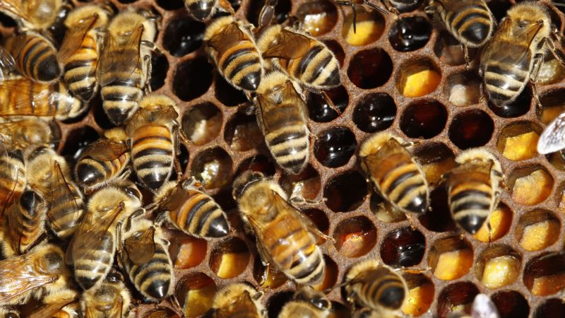 Scientists Investigate Link Between Pesticides and Bee Death