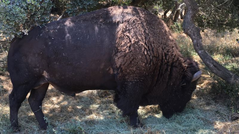 History of Catalina Bison: Hollywood, Tourism and Ecology