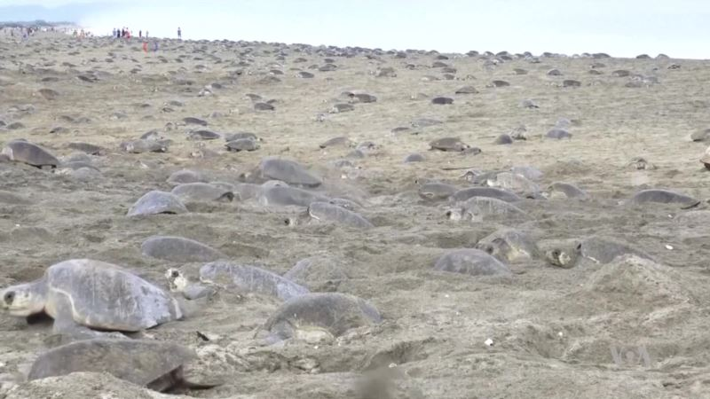 Threatened Sea Turtles Make Massive Pilgrimage to Protected Mexican Beach