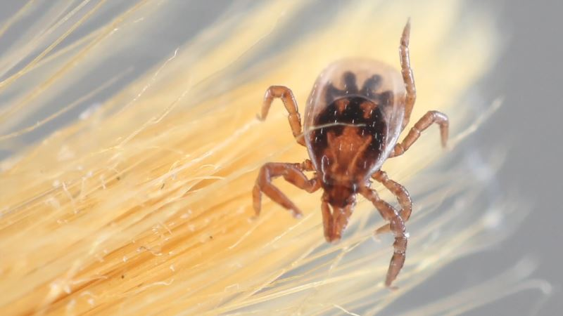 Researchers Developing New Test for Lyme Disease