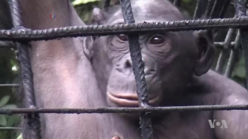 World's Only Bonobo Sanctuary Rehabilitating Orphan Primates