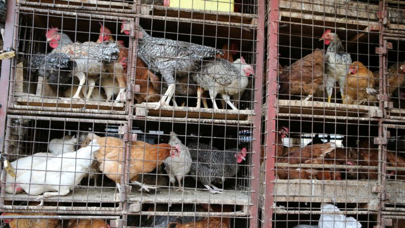 UN: Urgent Action Needed to Contain Avian Flu in Southern Africa