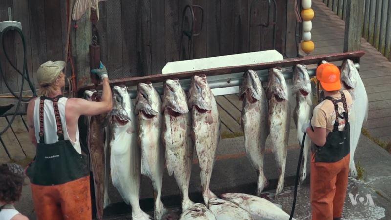 Halibut Fishing Contest Draws Thousands to Alaska Town