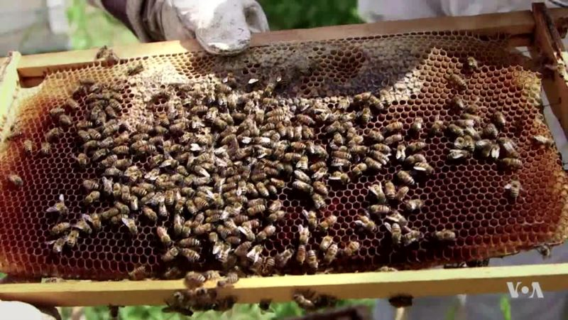 Researchers Listening to Bees for Sounds of Trouble