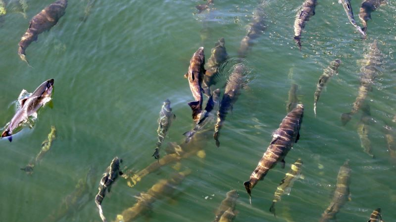 Warm Water Off US West Coast Has Lingering Effects for Salmon