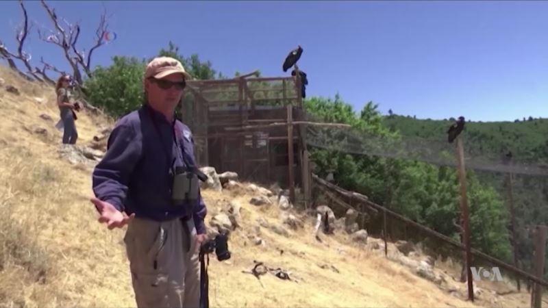 California Condor, a Rare Environmental Success Story