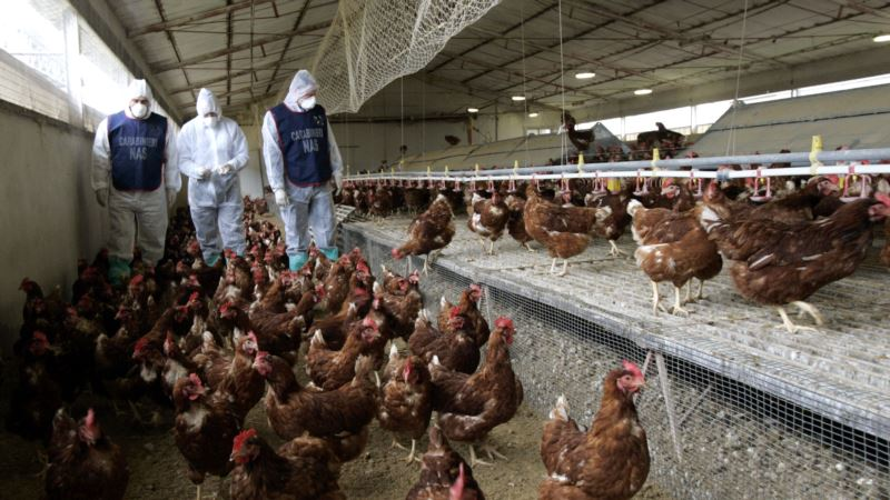 Four Outbreaks of Highly Pathogenic H5N8 Avian Flu Hit Italy This Month