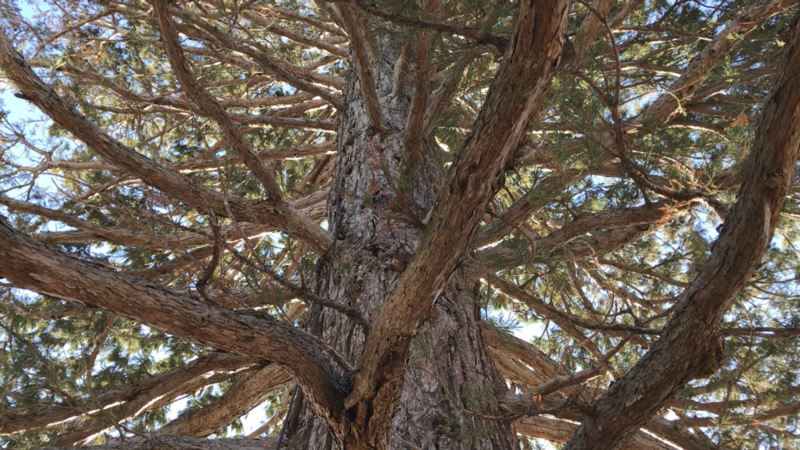 Giant Sequoia Doing Well 4 Months After Idaho Uprooting