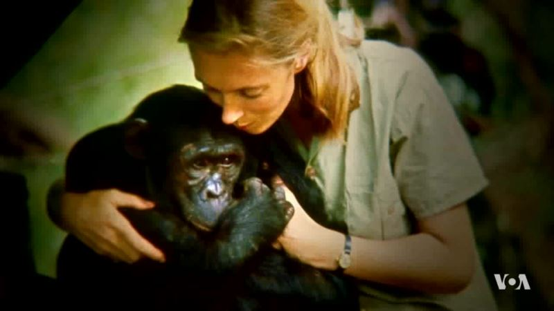 Jane Goodall Documentary Shows Development in Understanding of Man and Chimp