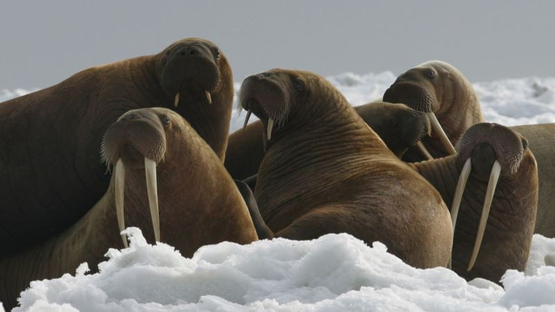Trump Administration Refuses Protection for Pacific Walrus