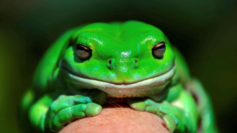 Frog-count App Aims for Deep Dive into Australia's Population