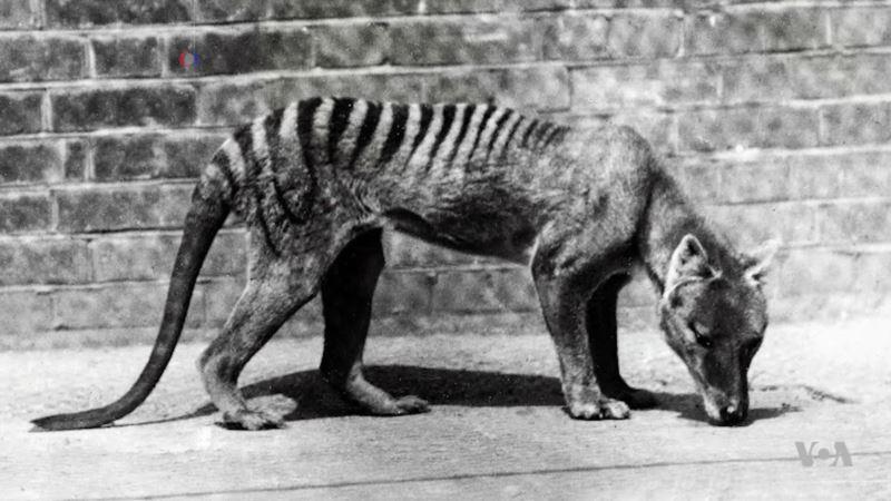 Unlocking Secrets of Extinct Canine-Looking Tiger