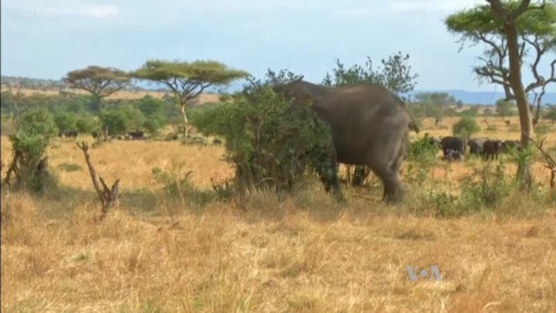 Using Tech to Save World's Most Endangered Species in Tanzania